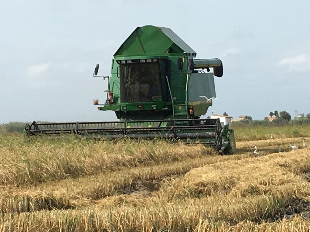 cosecha de arroz en valencia
