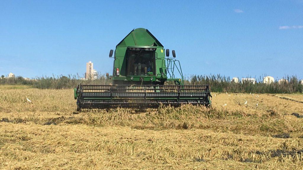 cosecha de los arrozales de la albufera de valencia