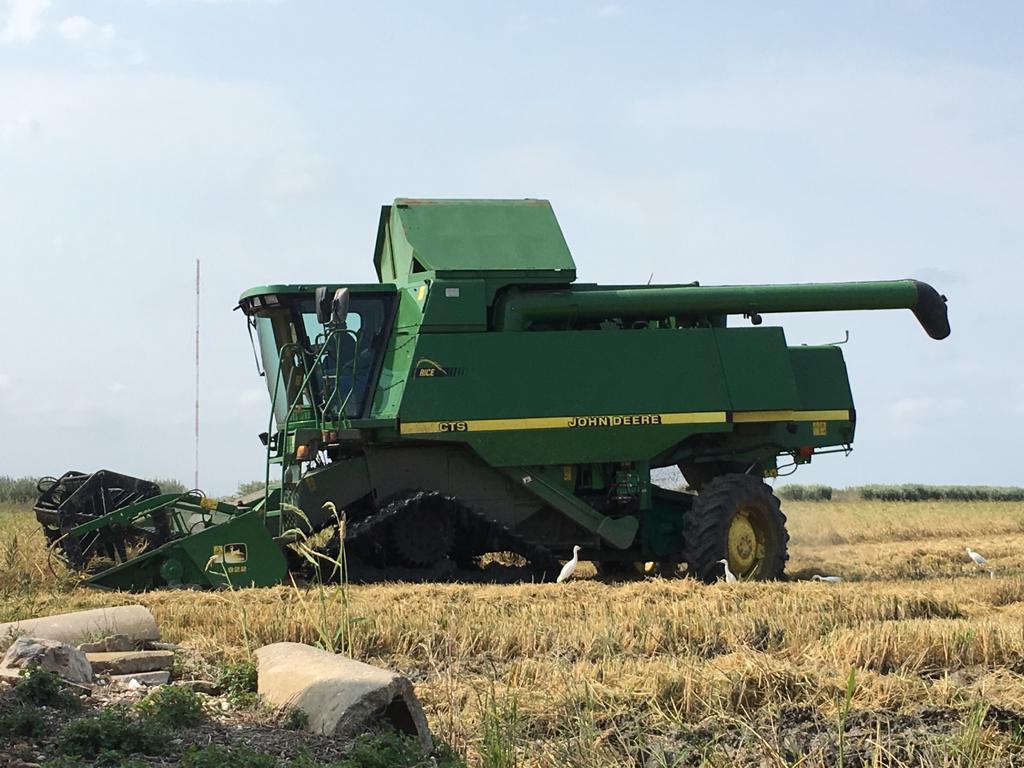 cosecha del arroz en la albufera